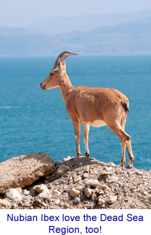 Nubian Ibex - a Dead Sea native!